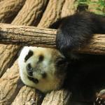 faaitoito-beauveal-panda-mini